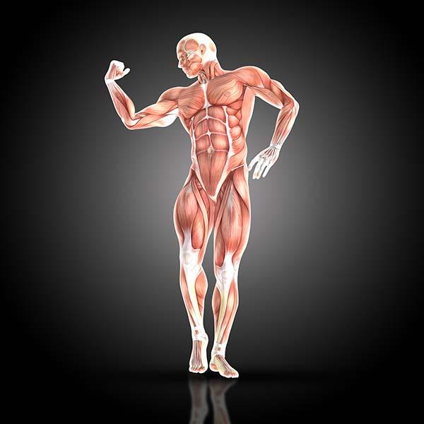 muskuļi
