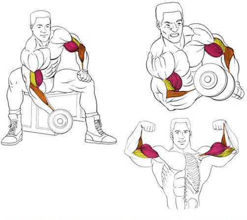 Koncentreta_celsana_uz_bicepsu