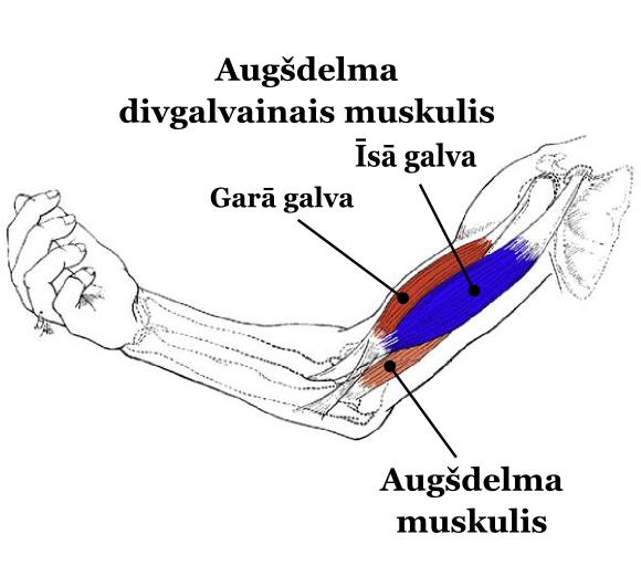 bicepsa_anatomija