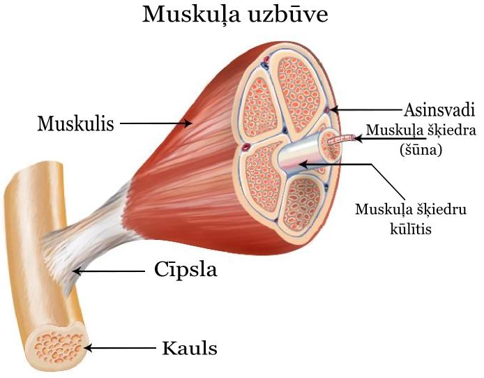 Muskula_uzbuve