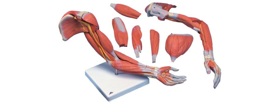 Muskulu_anatomija
