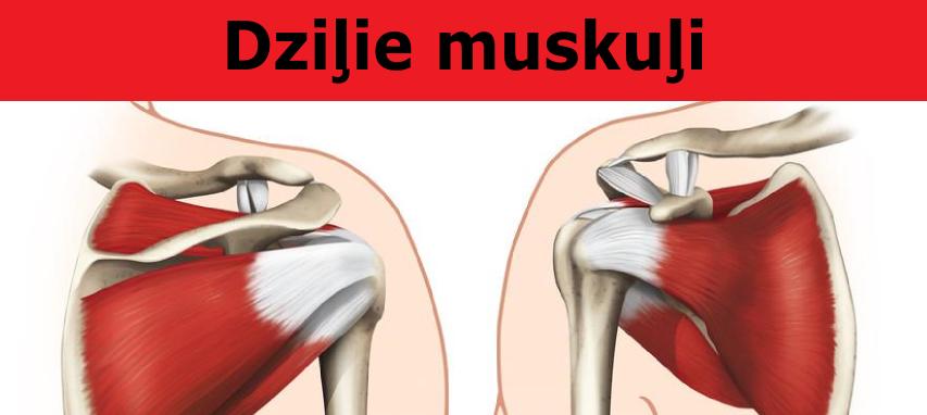 dzilie_plecu_muskuli